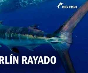 Video: marlin rayado, trofeo de mochitenses
